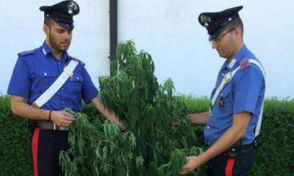 Sul cellulare le foto della pianta di marijuana, nei guai minorenne