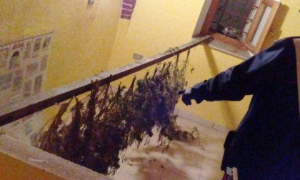Ancora una denuncia per droga in Canavese