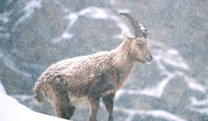 Nel Parco del Gran Paradiso tutelare la fauna dai botti di Capodanno
