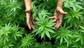 Sì alla cannabis per uso  medico anche nelle farmacie