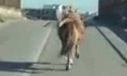 Cavallo sull'ex 460: multa ai proprietari