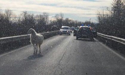 Una pecora ha mandato in tilt il traffico