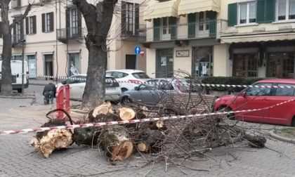 Albero cade in centro a Rivarolo, nessun ferito