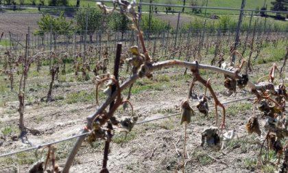 Gravi danni per le gelate alle colture dei campi