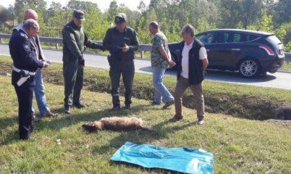 Lupo trovato morto alla rotonda vicino a piazza  Mulinet