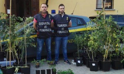 Appartamento trasformato in serra: arrestato dalla Finanza