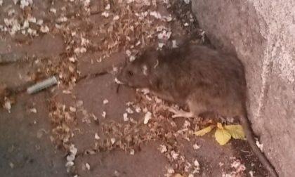 Topi in pieno centro città a Rivarolo