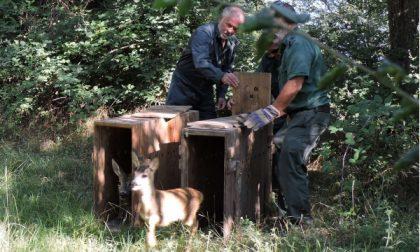 Erano finiti in una proprietà primata: liberati due caprioli