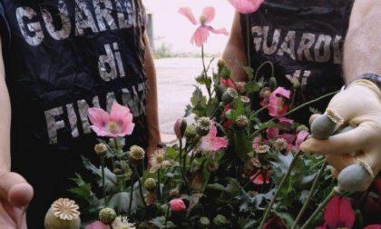Un centinaio di piantine e bulbi di papavero rinvenuti dalla Finanza