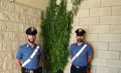 Arrestato impiegato con  136 piante di marijuana