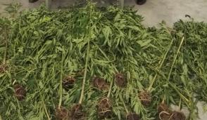 Cinquantunenne nei guai: aveva in casa piante di marijuana