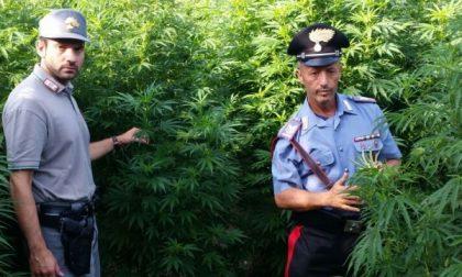 """Scoperta  """"super"""" piantagione di marijuana  (AGGIORNAMENTO – VIDEO)"""