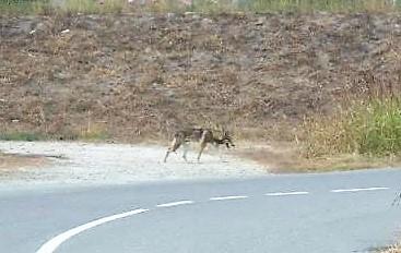Lupo avvistato di giorno vicino alle case