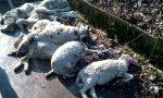 Pecore morte abbandonate nelle campagne