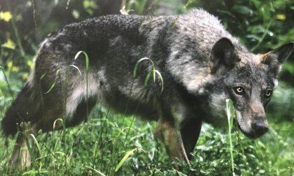 Polo Museale Cuorgnè organizza una mostra sul lupo