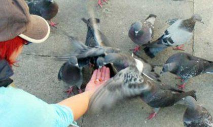 Nole allarme piccioni, il Comune corre ai ripari