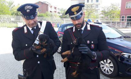 Ragazzo scomparso nella Dora, ritrovati dai carabinieri cuccioli di rottweiler