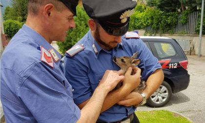 Cucciolo di capriolo salvato dai Carabinieri di Settimo Vittone