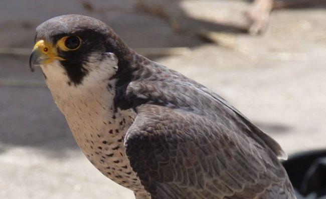 Falco pellegrino, la polizia di stato salva un cucciolo