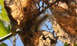 Processionaria a Volpiano: si tratta di bruchi innocui