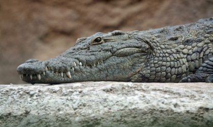 Allarme nell'alessandrino: avvistato coccodrillo in un canale