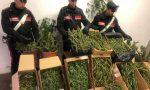 Maxi produzione di marijuana scoperta a Rueglio | FOTO