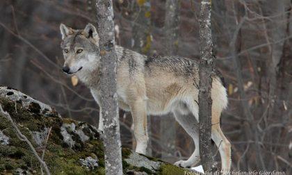 Testa di lupo mozzata sul cartello stradale, macabro ritrovamento a Lanzo