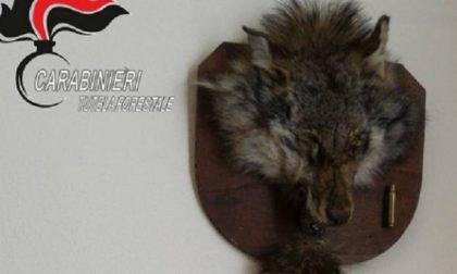Testa di lupo imbalsamata: cacciatore multato