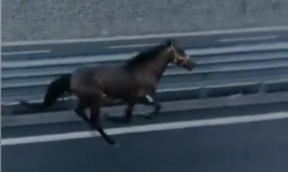 Due cavalli liberi in autostrada