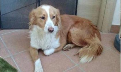 Appello per ritrovare Fulvia, cagnolina smarrita a Salassa