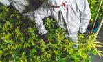 Cannabis light illegale, la sentenza della Cassazione e le reazioni