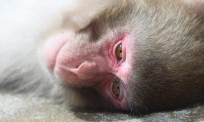 Esperimenti sulle scimmie, liberati nove macachi