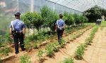 387 piante di marijuana, arrestato 34enne di Lanzo | FOTO e VIDEO