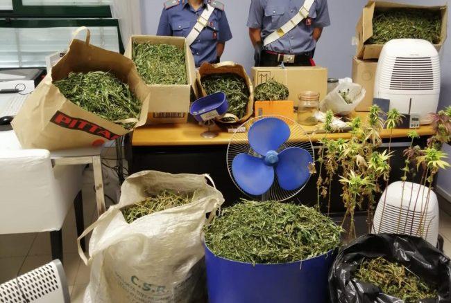Disoccupato coltiva marijuana in aree demaniali: 80 piante scoperte dai carabinieri nelle Valli di Lanzo