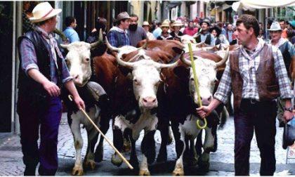 Weekend a Ivrea con la 60esima mostra della Pezzata Rossa Valdostana