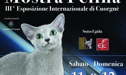 Gatti in festa: a Cuorgnè torna l'Esposizione Internazionale Felina