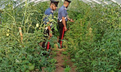 Coltivava marijuana nell'orto, arrestato il contadino della cannabis
