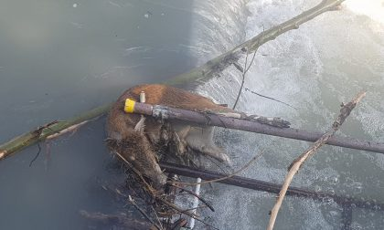 Cinghiale morto riaffiora dalle acque della Dora