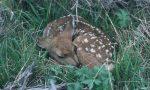 Cerbiatto veglia mamma cerva per tutta la notte: colpita a morte da un bracconiere