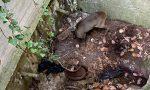 Capriolo cade in una cisterna di irrigazione, salvata dal CANC | FOTO