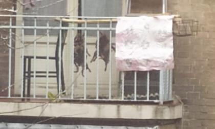 Nutrie impiccate al balcone per cucinarle, scandalo sul web… ma sono polli