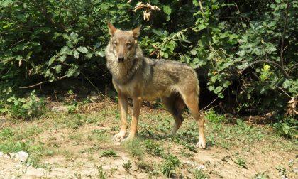 Emergenza lupi, in Consiglio regionale le richieste di aiuto dei margari