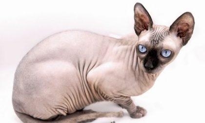 Il gatto di Ronaldo e Georgina investito da un'auto portato con jet privato in clinica veterinaria