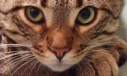 Scoperto in Piemonte il primo caso di variante inglese su un gatto