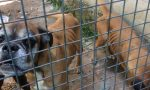 Tre Boxer abbandonate al freddo senza cibo né acqua in una gabbia piena di feci, salvate dalla Lida