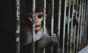 """Animalisti scrivono al rettore dell'università di Torino: """"Stop agli esperimenti sui macachi"""""""