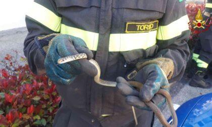 Serpente nel vano motore, a Vische intervengono i Vigili del fuoco