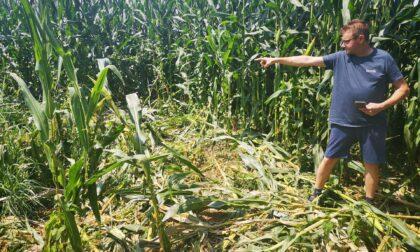 Agricoltori sul piede di guerra: i cinghiali distruggono altri raccolti