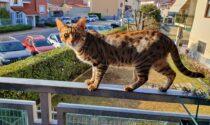 Simpatiche zampette, vi presentiamo Lion, gatto Bengala... che si comporta come un cane!