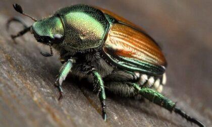 Lotta al coleottero giapponese popilia: trappole e insetticida in 2.400 località del Piemonte